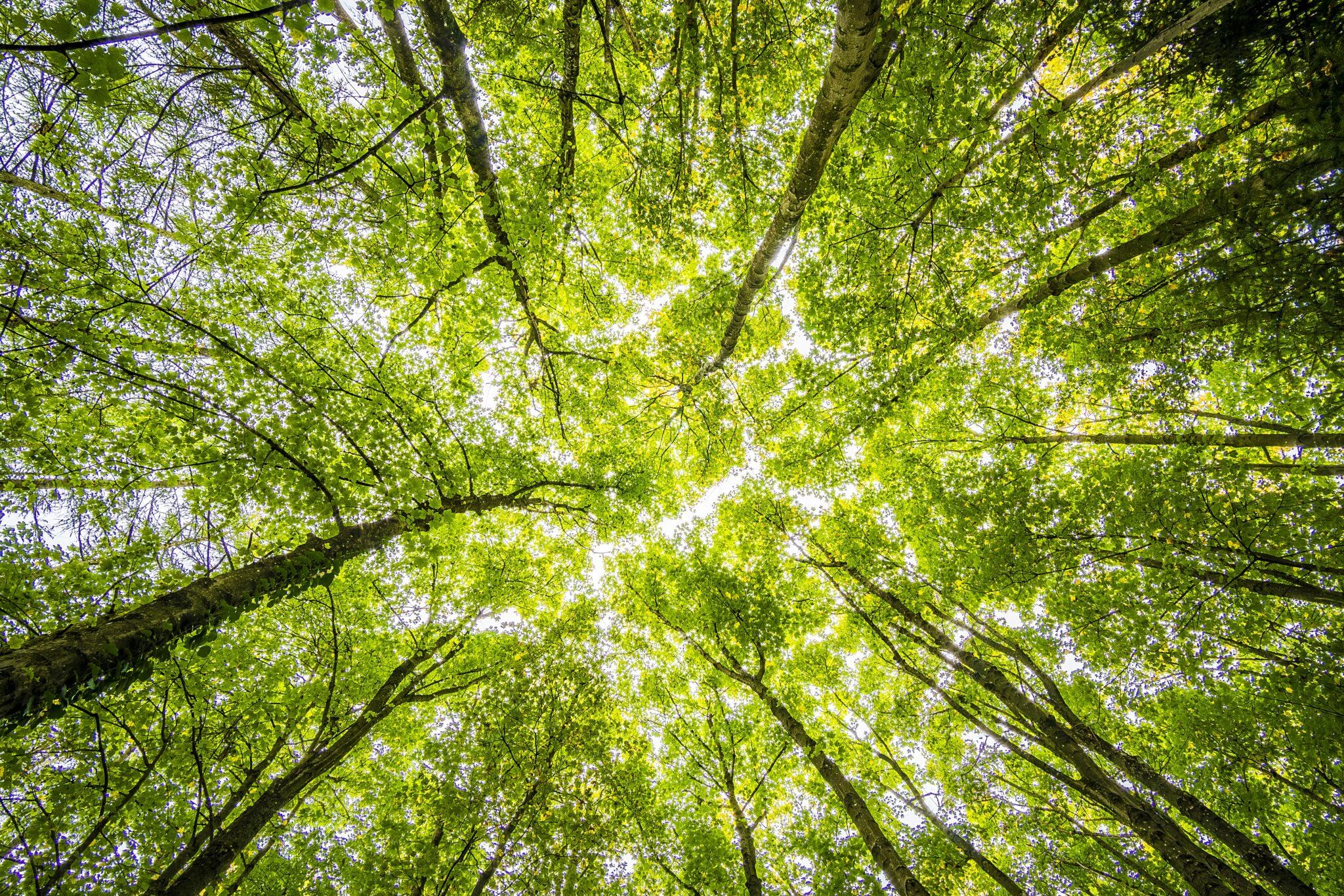 Grüne Baumkronen von unten